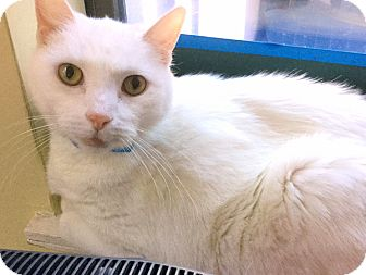 Domestic Shorthair Cat for adoption in Philadelphia, Pennsylvania - Zeus