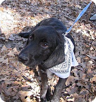 Hound (Unknown Type)/Retriever (Unknown Type) Mix Puppy for adoption in Oakland, Arkansas - Boone
