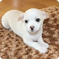 Adopt A Pet :: Ivory - Temecula, CA