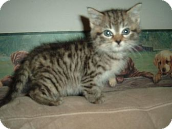 Domestic Shorthair Cat for adoption in Walnutport, Pennsylvania - Zorro