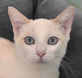 Siamese Cat for adoption in Redondo Beach, California - Zoe