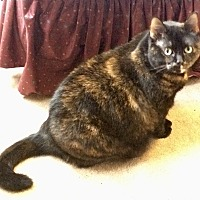 Domestic Mediumhair Cat for adoption in Philadelphia, Pennsylvania - Fiona