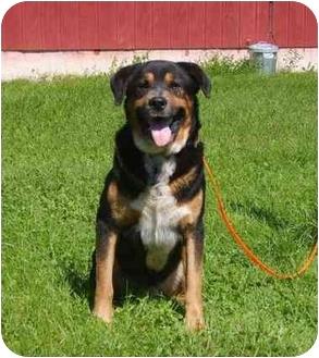 Rottweiler/German Shepherd Dog Mix Dog for adoption in Austin, Minnesota - Renegade