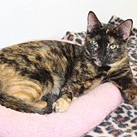 Domestic Shorthair Cat for adoption in Boca Raton, Florida - Tori