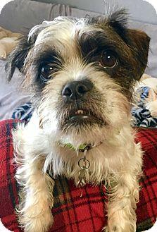 Shih Tzu/Pug Mix Dog for adoption in San Pedro, California - Trinket