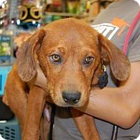 Adopt A Pet :: Doc - Brooklyn, NY