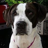 Pointer/Labrador Retriever Mix Dog for adoption in Chiefland, Florida - Tempe