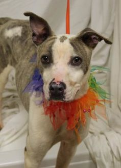 American Pit Bull Terrier Mix Dog for adoption in Anderson, South Carolina - Tyler