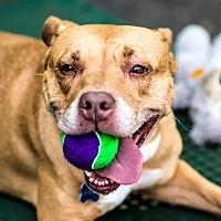 Adopt A Pet :: Jacey - Port Washington, NY