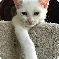 Adopt A Pet :: Sonnet - Ypsilanti, MI