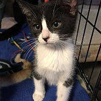 Adopt A Pet :: Kadence - Yukon, OK