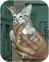 Domestic Shorthair Kitten for adoption in Sacramento, California - 1 male kitten