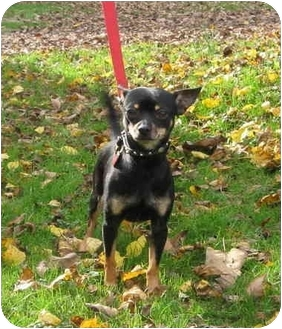 Chihuahua Dog for adoption in Skillman, New Jersey - Jamo