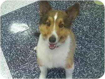 Sheltie, Shetland Sheepdog Dog for adoption in San Diego, California - Jax