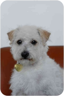 Poodle (Miniature)/Terrier (Unknown Type, Small) Mix Dog for adoption in Los Angeles, California - Gene