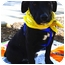 Photo 3 - Labrador Retriever/Border Collie Mix Puppy for adoption in Sacramento, California - Magnum sweet