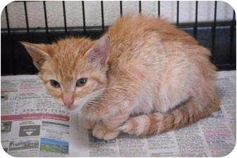 Domestic Shorthair Kitten for adoption in Romulus, Michigan - GOLD
