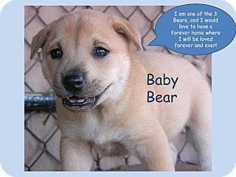 Shiba Inu/Shepherd (Unknown Type) Mix Puppy for adoption in Poway, California - The 3 Little Bears