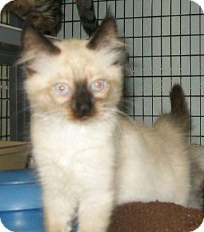 Siamese Kitten for adoption in Grants Pass, Oregon - Jasmine