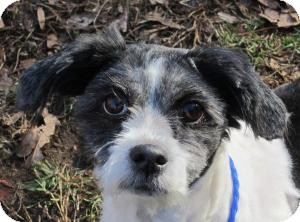 Lhasa Apso/Terrier (Unknown Type, Small) Mix Dog for adoption in Bloomfield, Connecticut - Frisbee