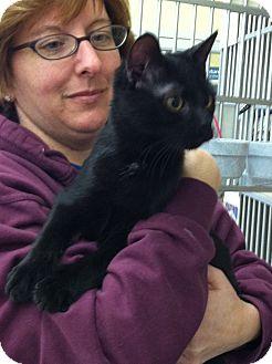 Domestic Shorthair Cat for adoption in Riverhead, New York - Raven