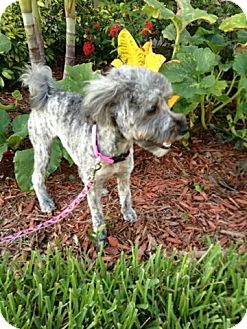 Poodle (Miniature)/Yorkie, Yorkshire Terrier Mix Dog for adoption in Oviedo, Florida - Lola