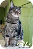 Domestic Shorthair Cat for adoption in Okotoks, Alberta - Babe