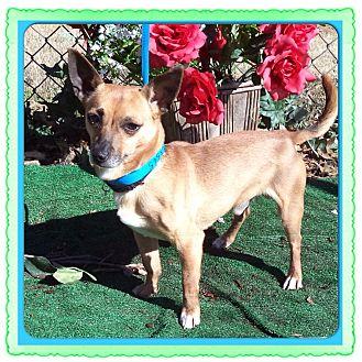 Chihuahua Dog for adoption in Marietta, Georgia - RICHIE
