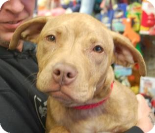 Pit Bull Terrier Mix Puppy for adoption in Brooklyn, New York - Taffy