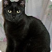 Adopt A Pet :: Black Velvet - Rochester, NY
