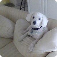 Adopt A Pet :: Gus - Davie, FL