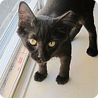 Adopt A Pet :: Inkblot - Chicago, IL