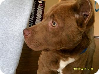 American Pit Bull Terrier Mix Dog for adoption in Lewisville, Texas - Bear