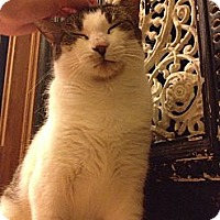 Domestic Shorthair Cat for adoption in Brooklyn, New York - Perfectly Lovely Patsy