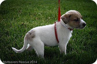 Australian Shepherd/Beagle Mix Puppy for adoption in Broomfield, Colorado - PRINCE CHARMING