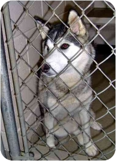Siberian Husky Dog for adoption in Inman, South Carolina - La La