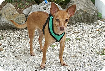 Chihuahua Mix Dog for adoption in Englewood, Florida - Pharoh
