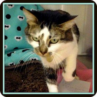 Domestic Mediumhair Cat for adoption in Glendale, Arizona - Digit