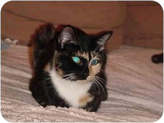 Domestic Shorthair Cat for adoption in Chesapeake, Virginia - Crumpet