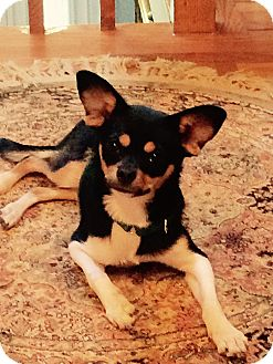 Rat Terrier/Chihuahua Mix Puppy for adoption in Nanuet, New York - Monte'