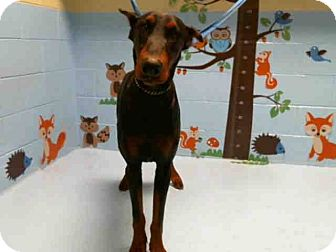 Doberman Pinscher Puppy for adoption in Vancouver, British Columbia - Wyatt