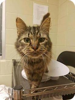 Domestic Shorthair Cat for adoption in Columbus, Georgia - Barbossa 4F0B