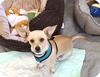 Jack Russell Terrier/Dachshund Mix Puppy for adoption in Brea, California - Timmy