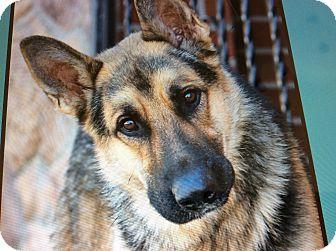 German Shepherd Dog Dog for adoption in Los Angeles, California - CHEVY VON CARSTEN