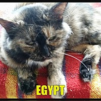 American Shorthair Cat for adoption in MADISON, Ohio - Egypt