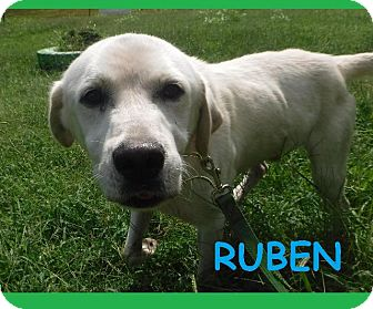 Labrador Retriever/Great Pyrenees Mix Dog for adoption in Batesville, Arkansas - Ruben