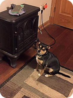 Chihuahua Mix Dog for adoption in Hanover, Pennsylvania - Shiney