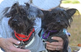 Schnauzer (Miniature)/Yorkie, Yorkshire Terrier Mix Dog for adoption in Cranford, New Jersey - Aj