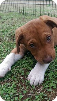 Labrador Retriever/Terrier (Unknown Type, Medium) Mix Puppy for adoption in Moody, Alabama - Tahki