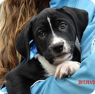 Great Dane/Border Collie Mix Puppy for adoption in West Sand Lake, New York - Tacoma (11 lb) Video!